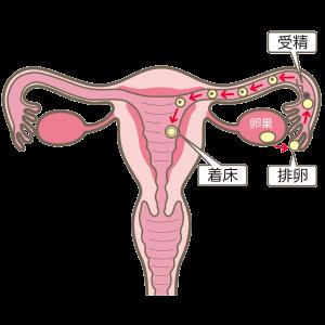 子宮・排卵
